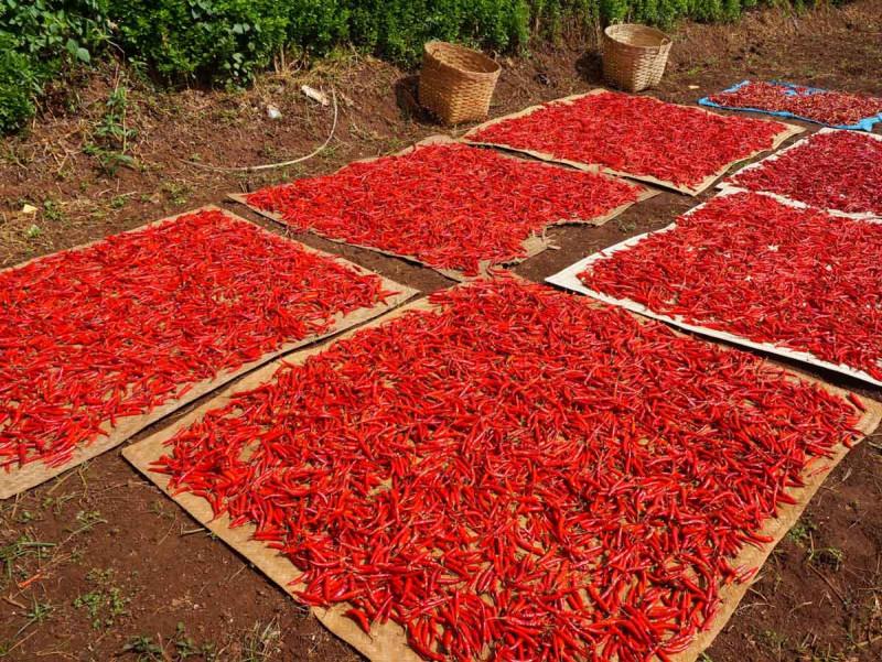 Chilis rot Ernte Boden trocknen Bremer Gewuerzhandel